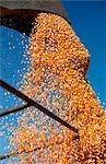Déchargement de maïs