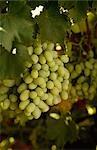 White Calmeria Table Grapes on Vine