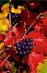 Shiraz Grapes Growing on Vine, France
