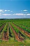 Vigne, vigne, Mudgee, Australie
