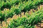 Vineyard, Grape Vines, Australia