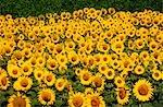 Sunflower Crop, Australia