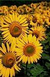 Sunflower Crop, Close-up of Sunflower Plant, Australia