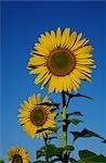 Close-up of Sunflower, Australia