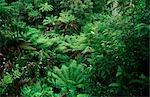 Rainforest, Ferns, Australia