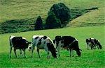 Molkerei Vieh weidete in grünen Feld