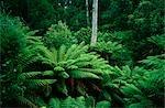Fougères, Otway National Park, Victoria, Australie