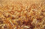 Wheat, Australia