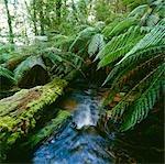 Ruisseau de la forêt tropicale et fougères arborescentes, Parc National de Tarra-Bulga, Victoria, Australie