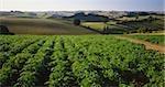 Potato Crop, Gippsland, Victoria, Australia