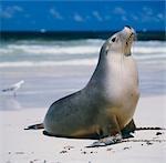 Joint d'étanchéité sur la plage, Kangaroo Island, Australie