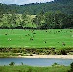Beef Cattle Grazing beside River, Australia
