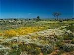 Desert in Bloom, Australia