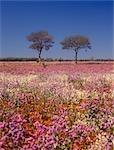 Désert en fleurs, fleurs sauvages, Australie