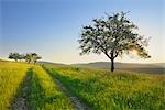 Blossoming Apple Tree in Field, Spessart, Bavaria, Germany