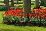 Red Tulips in Bloom, Keukenhof Gardens, Lisse, Netherlands