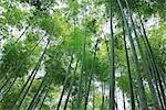 Forêt de bambous, Sagano, Arashiyama, Kyoto, préfecture de Kyōto, Kansai, Honshu, Japon