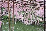 Fleurs de cerisier, Heian Jingu temple, Kyoto, préfecture de Kyōto, Kansai, Honshu, Japon