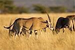Herd of Oryx, Buffalo Springs National Reserve, Kenya