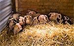 Porcs et porcelets tachetés