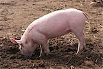 Porc organique libre parcours sur une batterie de serveurs