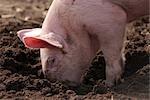 Porc organique libre parcours creuser sur une batterie de serveurs