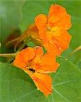 Nasturtium Flowers/ Edible