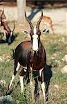 Portrait of a Bontebok (Damaliscus Dorcas) Ram Eating Grass
