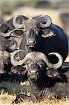 Portrait of Buffalo (Syncerus caffer) Pair in Bushveld