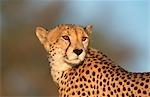 Portrait of a Cheetah (Acinonyx jubatus). Kgalagadi Transfrontier Park, Northern Cape Province, South Africa