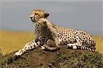 Portrait of Cheetah (Acinonyx jubatus) and Cub on a Mound