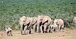 African Elephant (Loxodonta africana) Calf Leading a Herd of African Elephants Through the Bushveld Plain