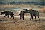 Pack of Spotted Hyena (Crocuta crocuta) in the Bushveld