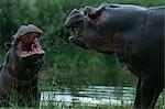 Pair of Hippopotami (Hippopotamus amphibius) Arguing on the Side of the River