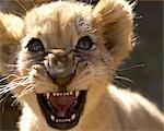 Close-up Portrait of a Lion Cub (Panthera leo) Growling