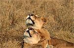 Male Lion (Panthera leo) Pair Sleeping in the Bushveld
