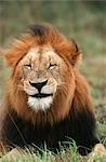 Close-up Portrait of a Mature Male Lion (Panthera leo)