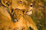 Close-up of Female Lion (Panthera leo) and Cub