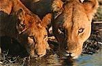 Close up of Lioness (Panthera leo) and cub drinking. Moremi Wildlife Reserve, Botswana.