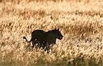 Lionne (Panthera leo) silhouettée dans l'herbe haute au crépuscule. Welgevonden Private Reserve, Province de Limpopo, Afrique du Sud.