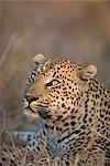 Portrait of a Leopard (Panthera pardus) Looking Up