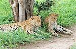 Leopard (Panthera pardus) Pair Resting Under a Tree