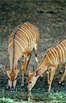 Portrait of Nyala (Tragelaphus angasii) Ewes Drinking Water