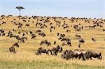 Blue Wildebeest (Connochaetes taurinus) Herd Grazing on the Bush Plain