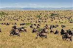 Herd of Blue Wildebeest (Connochaetes taurinus) Migrating