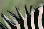 Close-up of a Burchell's Zebra (Equus burchellii) Mane