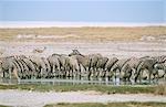 Herd of Burchell's Zebra (Equus burchellii) Drinking at a Waterhole