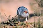 Pale Chanting Goshawk (Melierax canorus) Feeding
