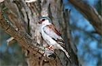 Pygmy Falcon (Polihierax semitorquatus) perché dans un arbre