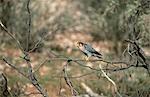 Red-necked Falcon (Falco chicquera) perché sur une branche d'arbre